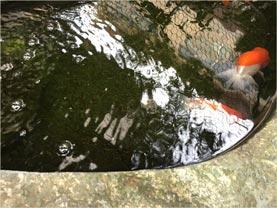 大謙館 池と鯉