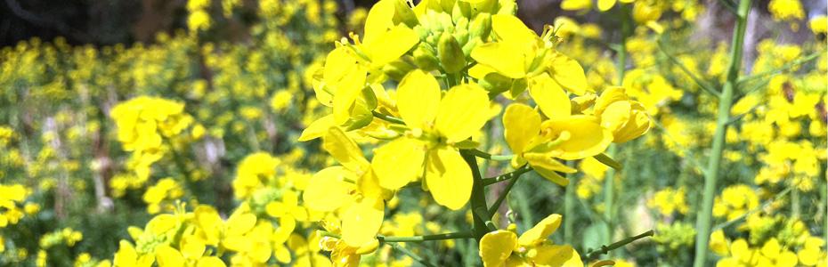 南房総の菜の花