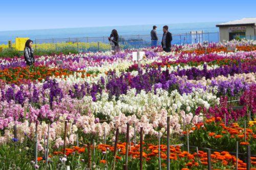 白間津の花摘みの画像