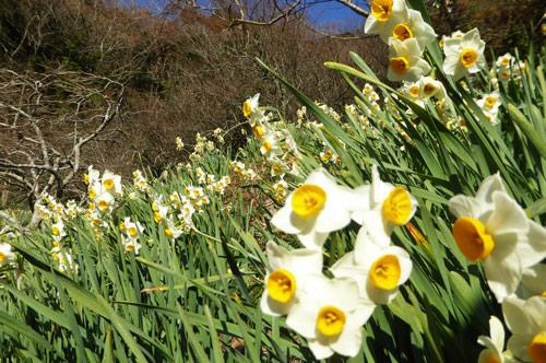 佐久間ダム斜面に咲く水仙の画像