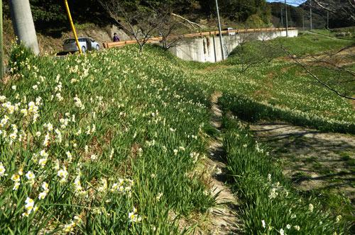 道路脇に咲く水仙の画像