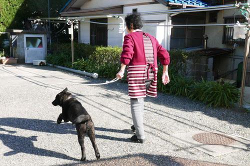 散歩をする甲斐犬